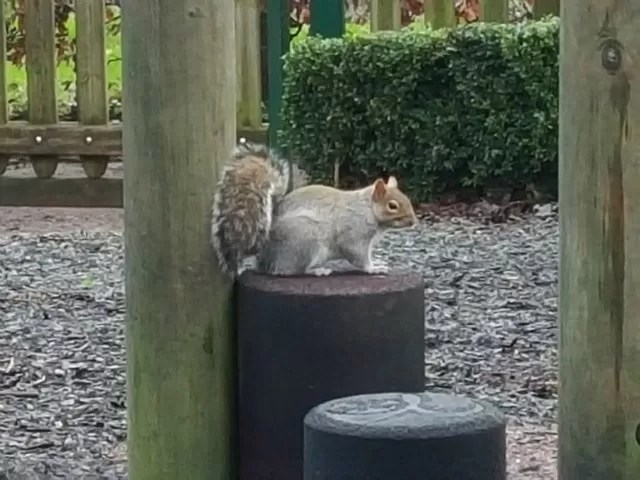 up close with a grey squirrel
