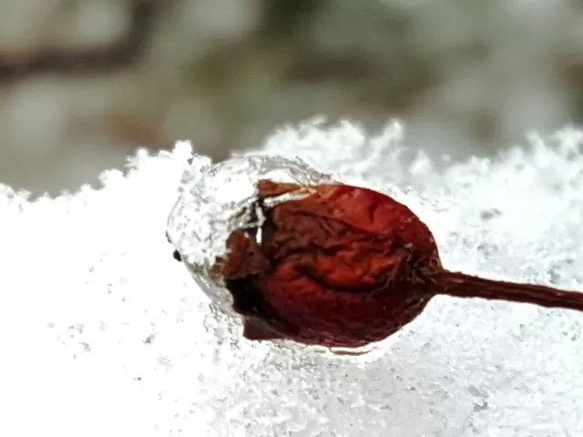 wrinkly berry on ice