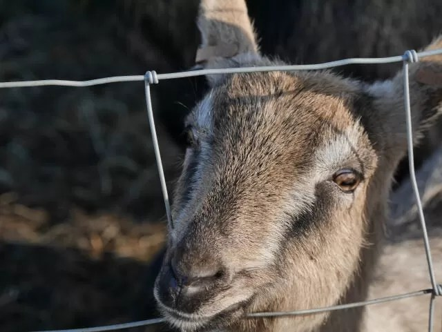goat at Green Dragon farm