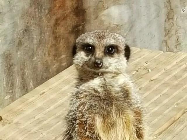 meerkat at knockhatch adventure park