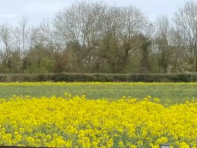 rape seed fields