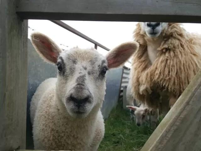 lamb up close to the camera