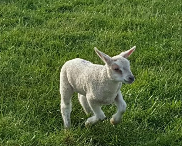 My Sunday Photo – lamb
