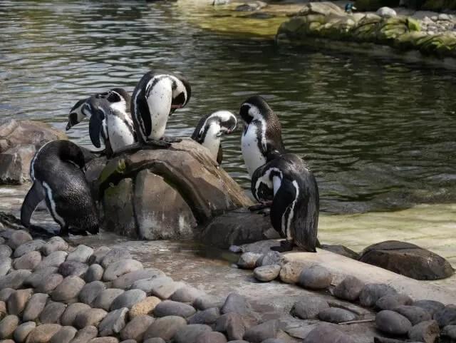 humbolt penguins at twycross zoo