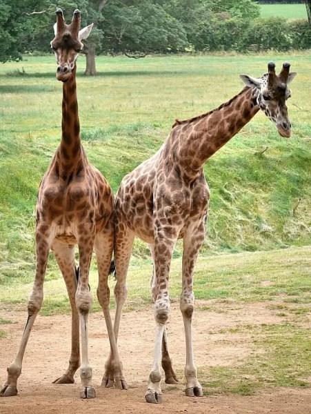 My Sunday Photo giraffes at Cotswold Wildlife park