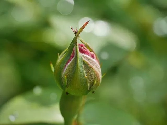 rose bud and bokeh at Hidcote gardens