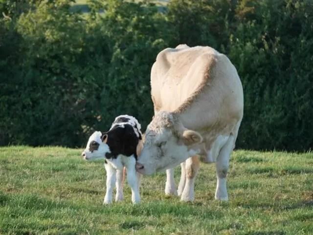 newborn calf and cow