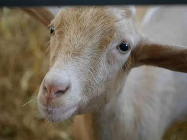 goat-kids-close-up