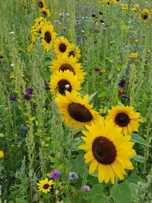 summer photography competition photograph sunflowers