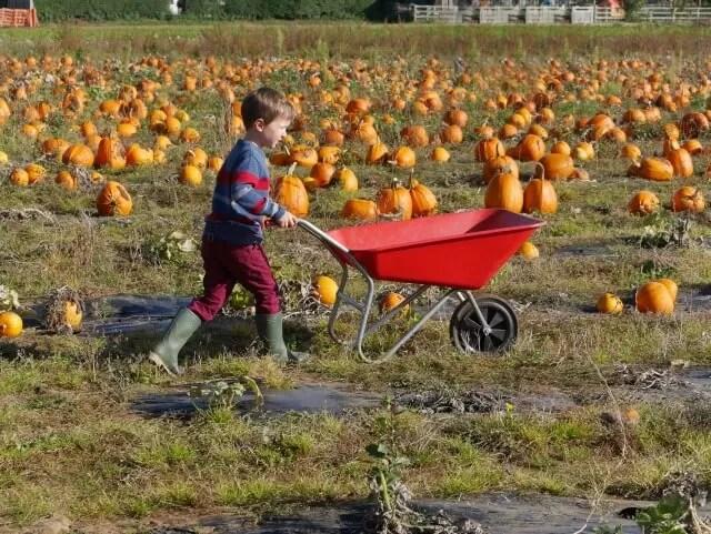 wheelbarrowing at the pumpkin patch