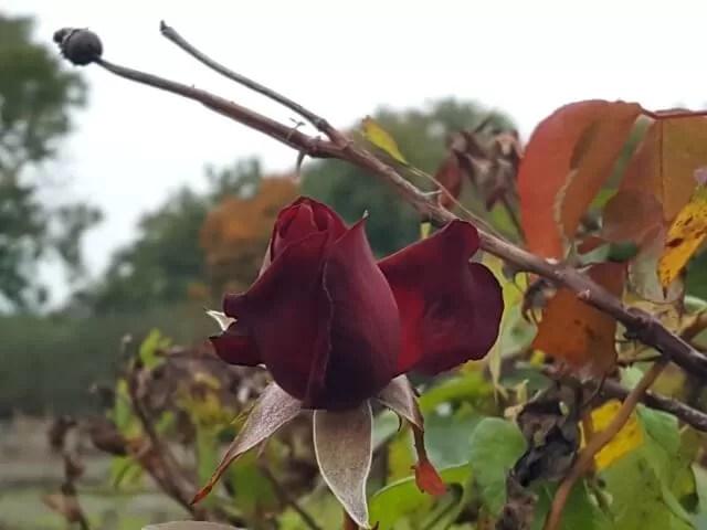 last rose of autumn
