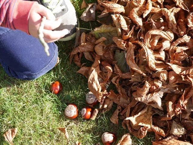 gathering conkers amongst leaves