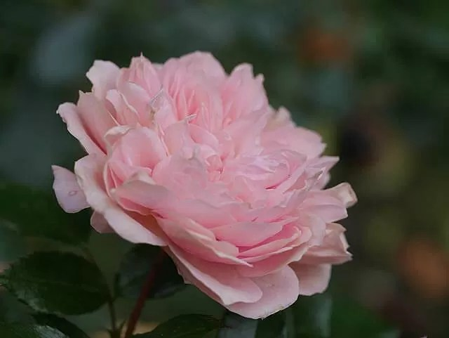 beautiful-pink-rose-in-the-park