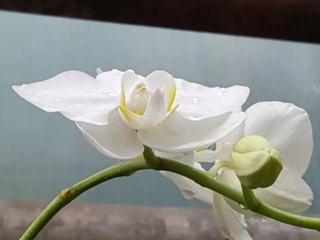 white-orchid