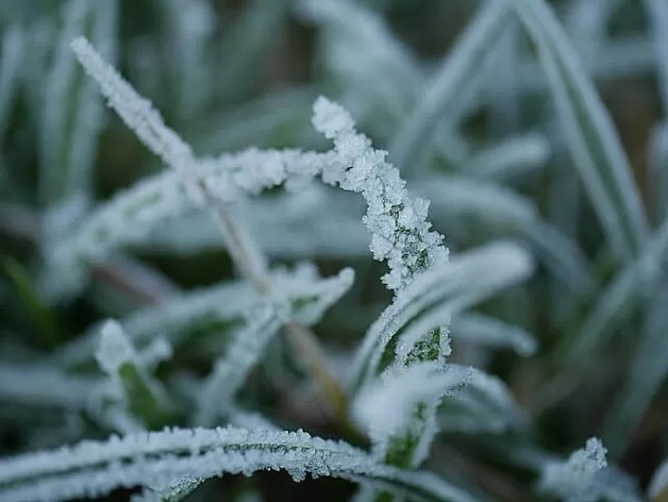frosty grass fronds
