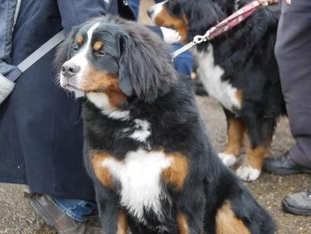 Bearnese mountain dogs
