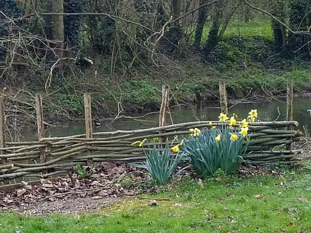 daffodils in front of the river