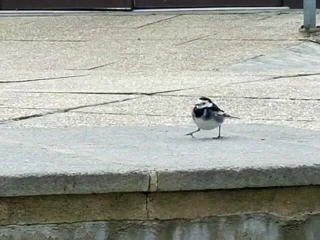 pied wagtail at beaulieu