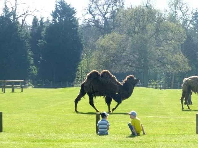 camel at cotswold wildlife park