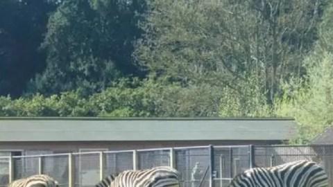 Cotswold Wildlife Park zebras - Bubbablue and me