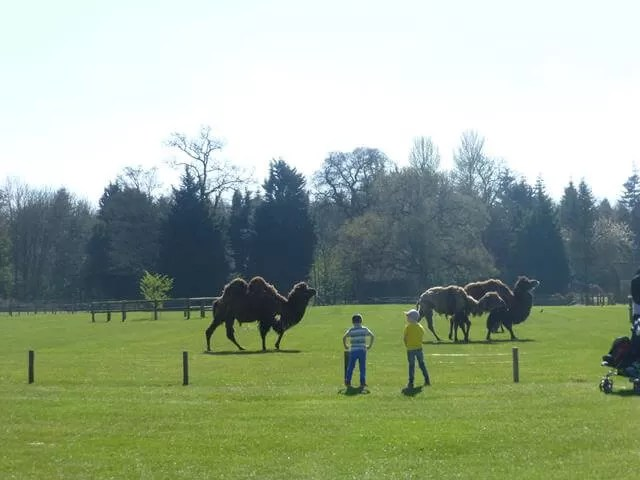 camels at cotsold wilflife park