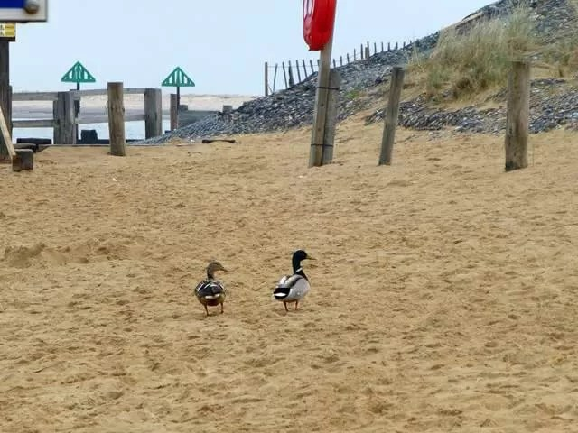 ducks on the beach