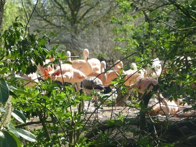 flamingoes at cotswold wildlife park