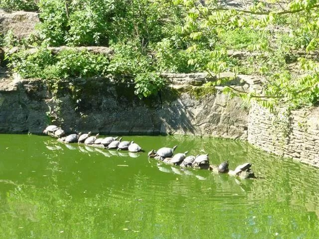 lined up turtles