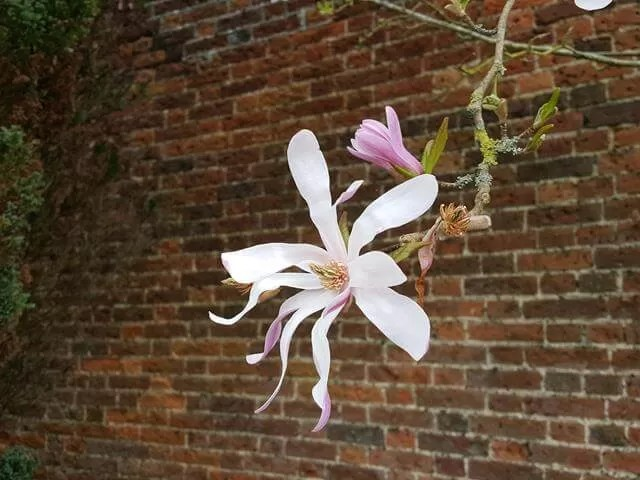 magnolia flower and brick wall