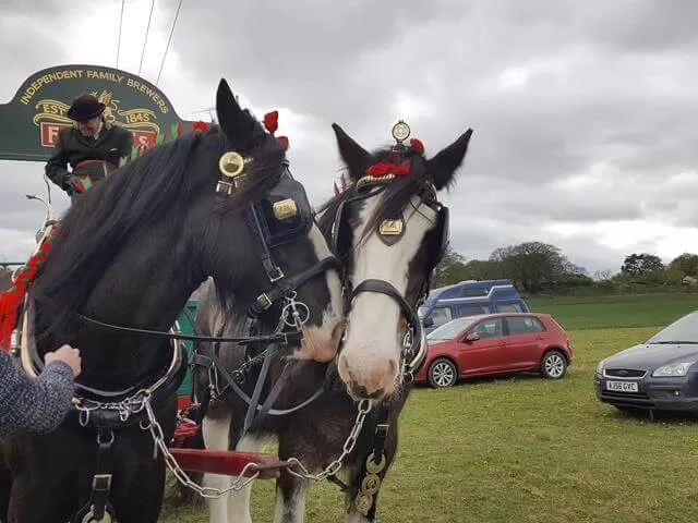 shire horse dreys