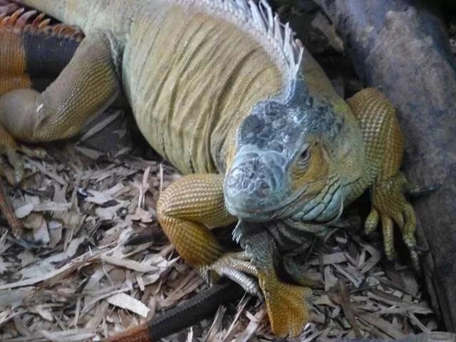 iguana at amazonia