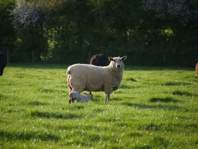 newborn lamb 2017