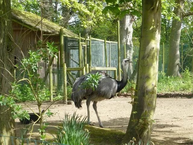 rheas at amazonia