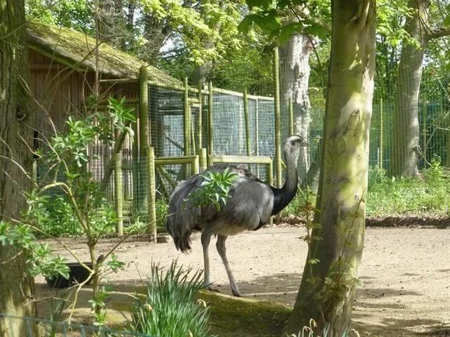 rheas at amazonia