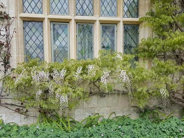 wisteria at anglesey abbey