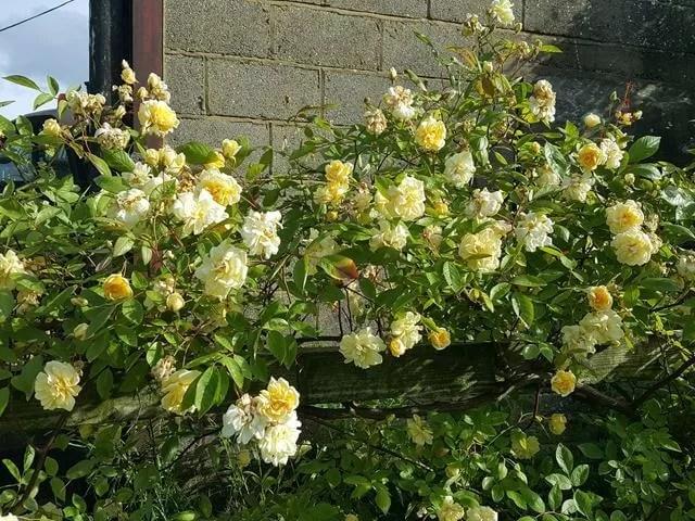 yellow rose bush on the farm
