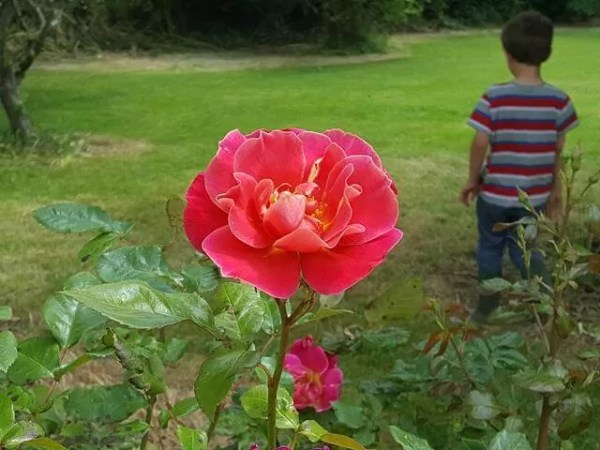 My Sunday Photo - rose garden