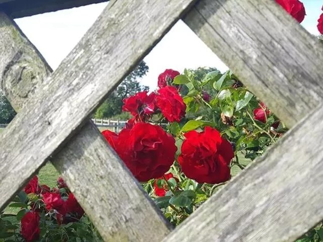 roses through the fence