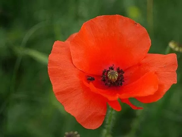 My Sunday Photo - single poppy
