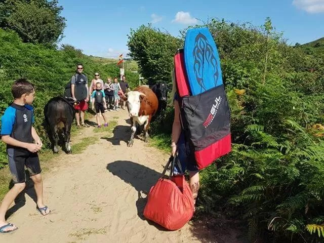 meeting cows on the path to 3 cliffs bay