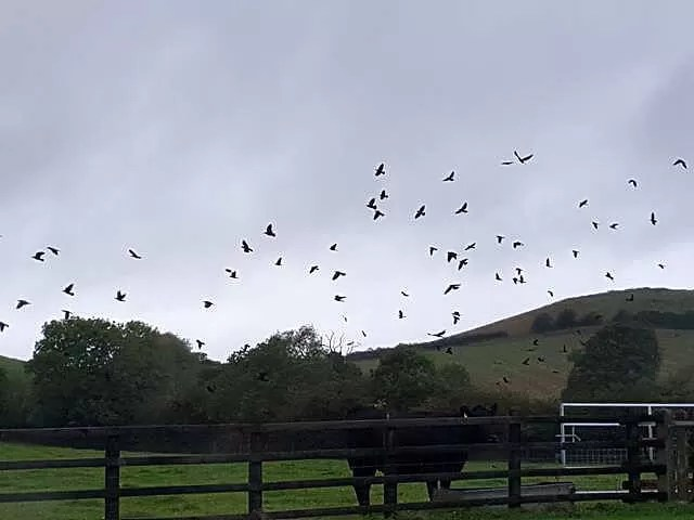 lots of crows flying up from fields