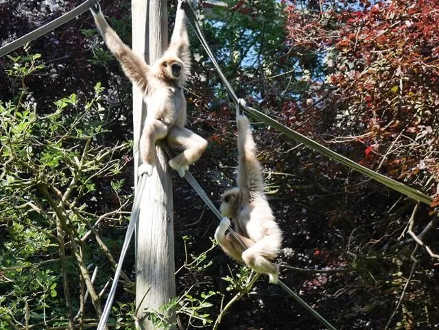 climbing gibbons