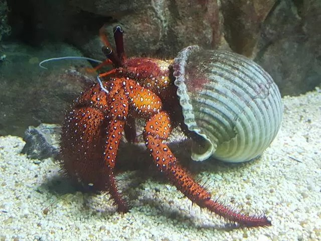hermit crab at blue reef aquarium
