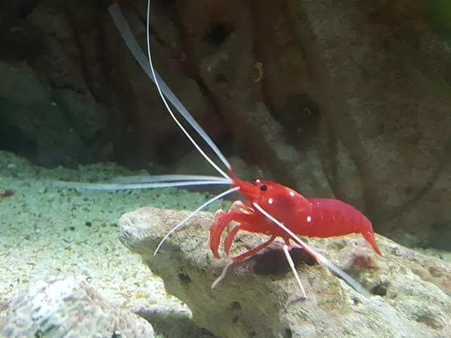 red shrimp blue reef aquarium