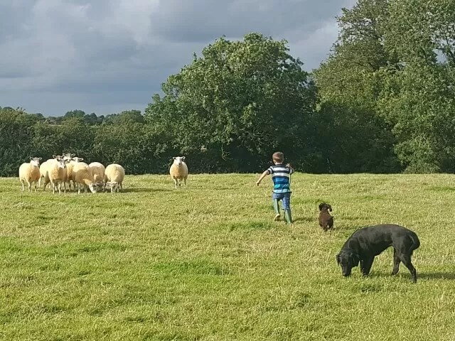 shepherding with kid