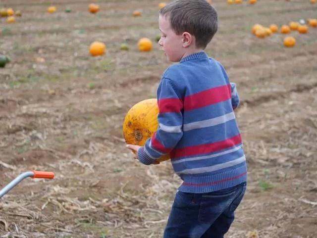 picking up pumpkins