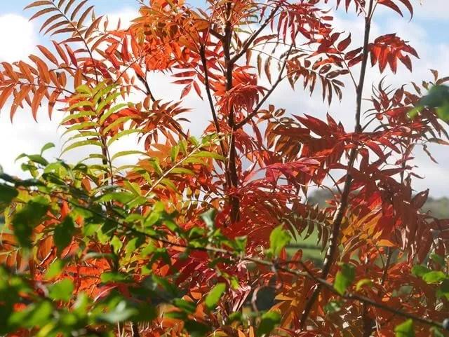 red leaves against blue sky
