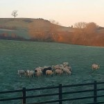 My Sunday Photo – sheep at sunrise