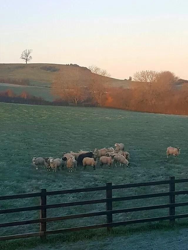 My Sunday Photo - sheep at sunrise
