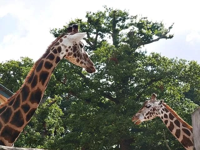 2 giraffes at marwell